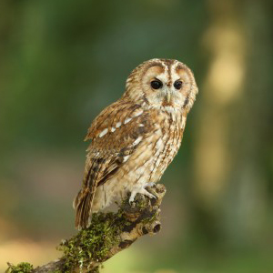 Tawny Owl Facts - Tawny Owl Information : Twootz.com