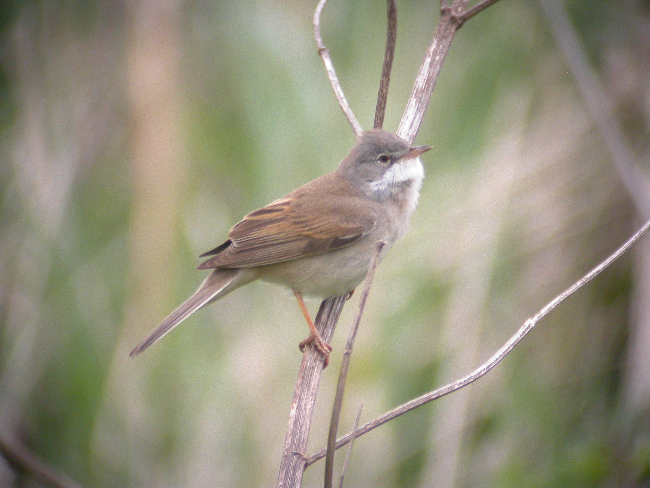 whitethroat facts   whitethroat information twootz