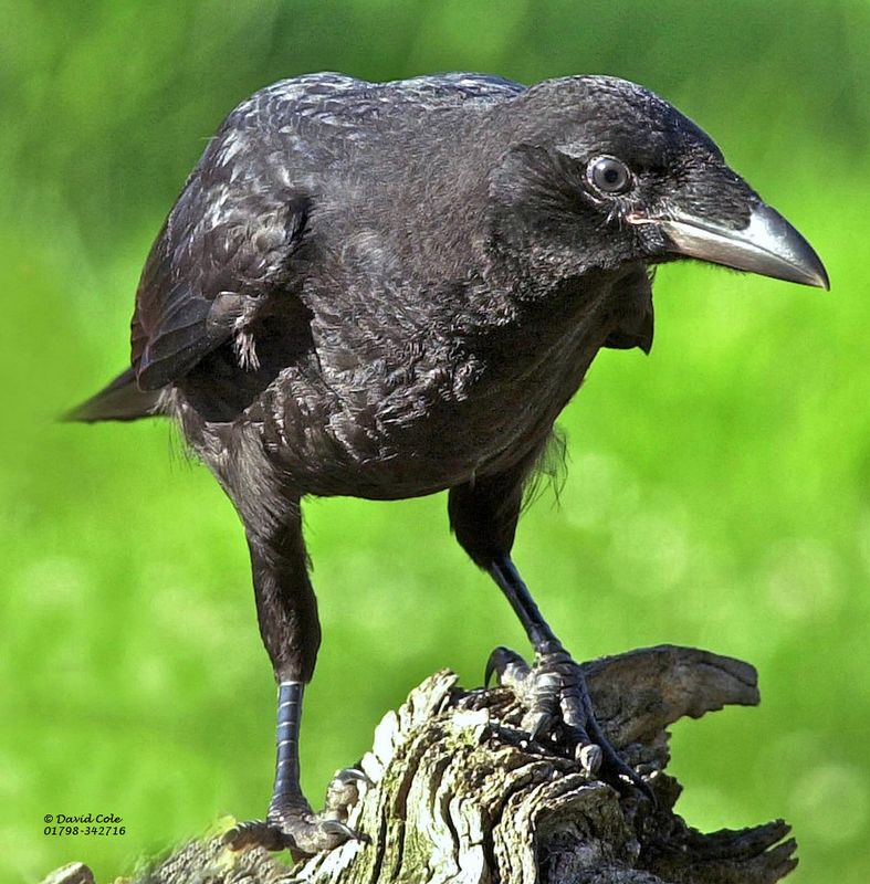 Carrion Crow Facts Carrion Crow Information Twootz Com