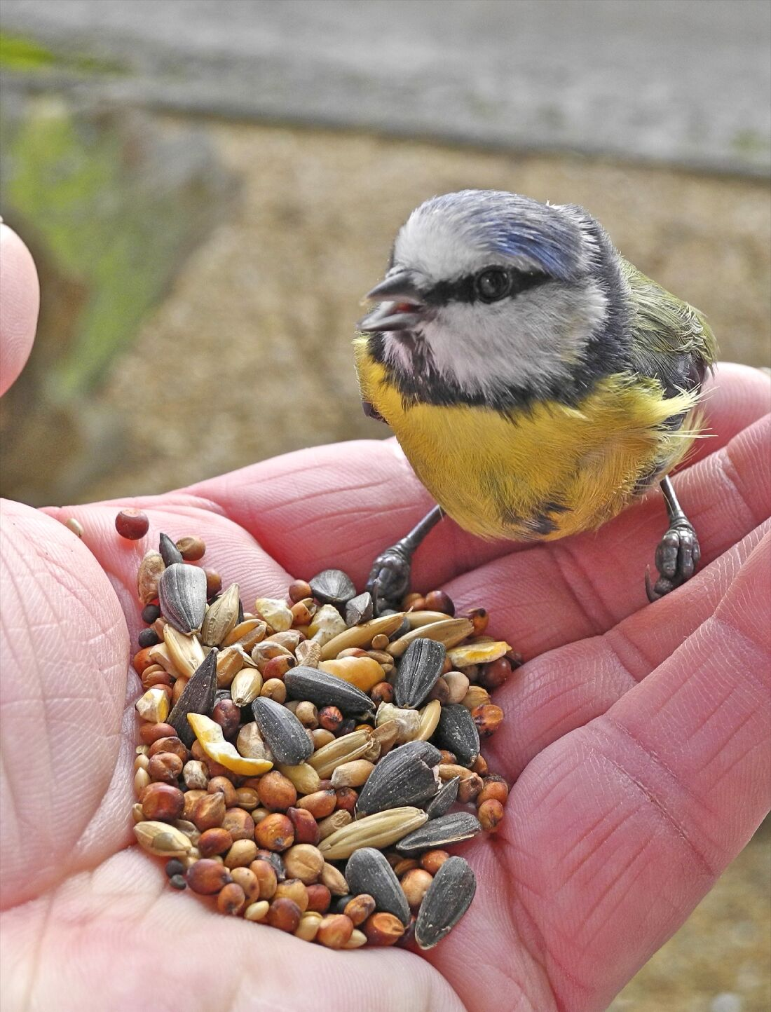 Blue Tit Feeding On Hand