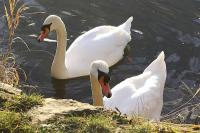 A pair of Mute Swans, photographed at Thrybergh Reservoir, Rotherham, on 02/02/13.