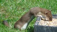 Stoat found one of our ground feeders and became addicted to Twootz suet pellets!