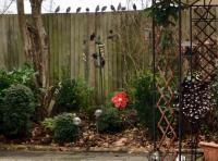 A row of starlings lined up on the fence in my garden waiting to feed on the Twoots feed.