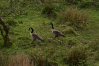 Taken 14th May 2020...a family of Canada Geese. Photograph taken from the 1st floor balcony of our house, which overlooks a Nature Reserve / SSSI.