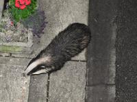 """Kinky, a female Badger, taking peanuts off the front step."