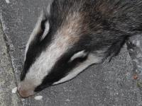 "Close-up of ""Kinky,"" a female Badger who regularly visits our garden, lured to the front step  by a trail of peanuts."