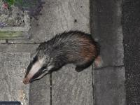 """Ginger,"" another female Badger who regularly visits, lured to the front step by a trail of peanuts."