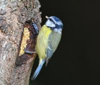 Blue Tit is happy I've been able to get more Peanut fat mix.