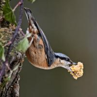 Nuthatches just can't get enough of the Utterley Peanut Butterly. going off with beaks full of the stuff.